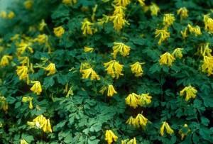 corydalis plant